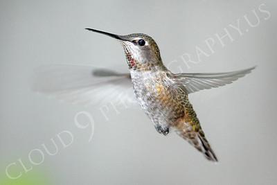 HUM 00017 An in-flight female Anna's hummingbird, by Peter J Mancus