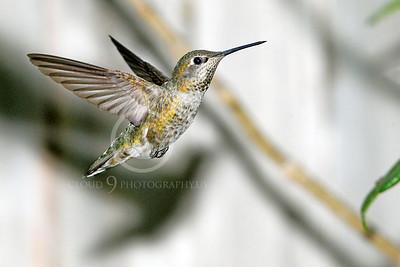 HUM 00024 An in-flight female Anna's hummingbird, by Peter J Mancus