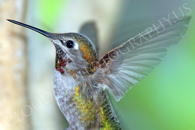 HUM 00010 An in-flight female Anna's hummingbird, by Peter J Mancus