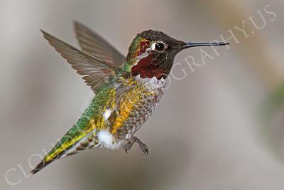 HUM 00013 An in-flight male Anna's hummingbird, by Peter J Mancus