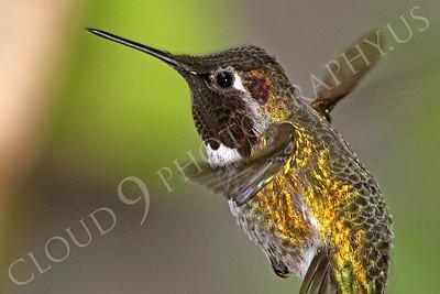 HUM 00018 An in-flight male Anna's hummingbird, by Peter J Mancus