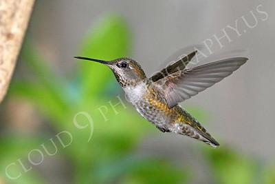 HUM 00014 An in-flight female Anna's hummingbird, by Peter J Mancus