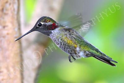 HUM 00025 An in-flight male Anna's hummingbird, by Peter J Mancus