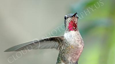 HUM 00011 An in-flight female Anna's hummingbird, by Peter J Mancus
