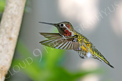 HUM 00022 An in-flight male Anna's hummingbird, by Peter J Mancus