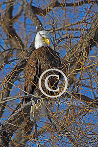 AN-Bald Eagle 00041 Bald eagle by Peter J Mancus