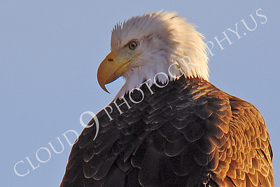 AN-Bald Eagle 00008 Mature bald eagle by Peter J Mancus