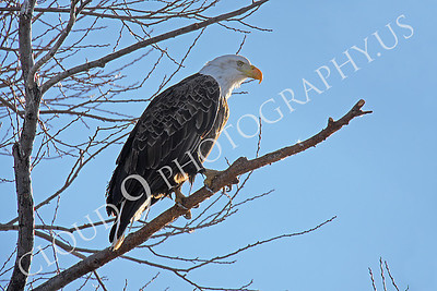AN-Bald Eagle 00010 Mature bald eagle by Peter J Mancus