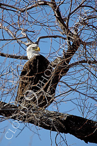 AN-Bald Eagle 00013 Mature bald eagle in a tree by Peter J Mancus