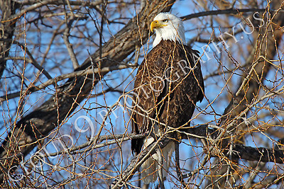 AN-Bald Eagle 00007 Bald eagle by Peter J Mancus