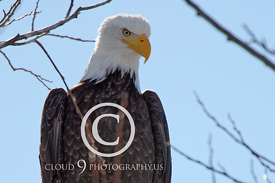 AN-Bald Eagle 00047 Mature bald eagle focuses on something while perched in a tree by Peter J Mancus