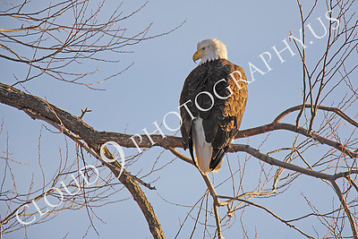 AN-Bald Eagle 00015 Mature bald eagle by Peter J Mancus