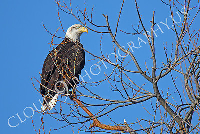 AN-Bald Eagle 00052 Bald eagle by Peter J Mancus