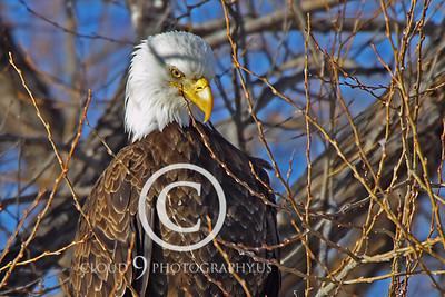 AN-Bald Eagle 00029 Bald eagle by Peter J Mancus