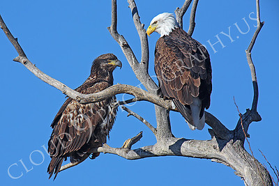 AN-Bald Eagle 00005 Mature bald eagle with mature golden eagle by Peter J Mancus
