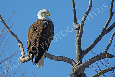 AN-Bald Eagle 00001 Mature bald eagle by Peter J Mancus