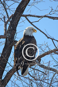 AN-Bald Eagle 00023 Mature bald eagle in a tree by Peter J Mancus