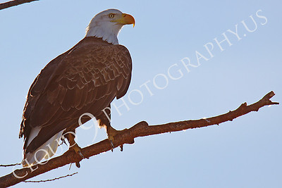 AN-Bald Eagle 00077 Mature bald eagle by Peter J Mancus