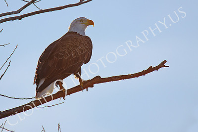 AN-Bald Eagle 00009 Mature bald eagle by Peter J Mancus
