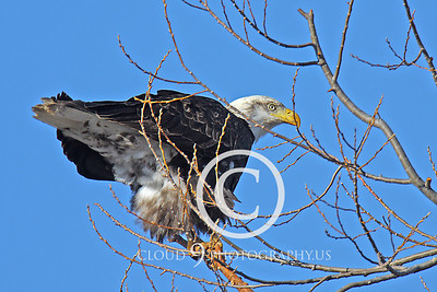 AN-Bald Eagle 00014 Bald eagle by Peter J Mancus