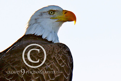 AN-Bald Eagle 00035 Mature bald eagle by Peter J Mancus