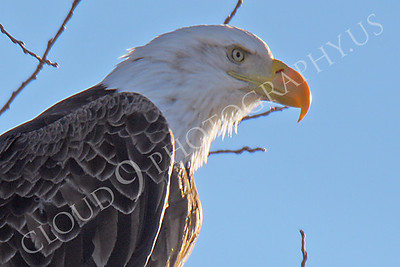 AN-Bald Eagle 00091 Mature bald eagle by Peter J Mancus