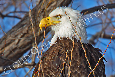 AN-Bald Eagle 00012 Bald eagle by Peter J Mancus