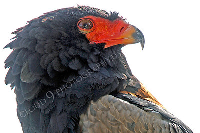 Bateleur Eagle 00054 by Peter J Mancus