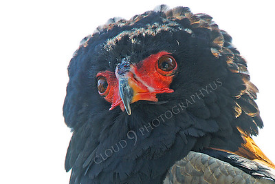 Bateleur Eagle 00010 by Peter J Mancus
