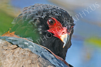 Bateleur Eagle 00050 by Peter J Mancus