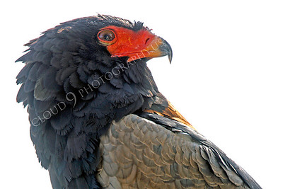 Bateleur Eagle 00004 by Peter J Mancus