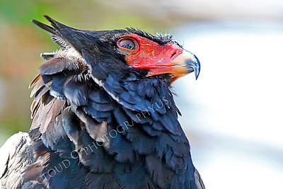 Bateleur Eagle 00012 by Peter J Mancus