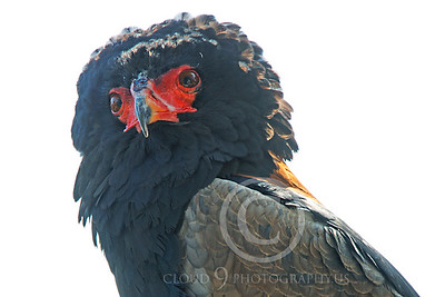 Bateleur Eagle 00026 by Peter J Mancus