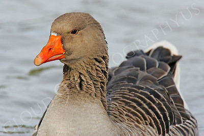Bean goose 00012 by Peter J Mancus