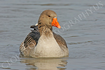 Bean goose 00005 by Peter J Mancus
