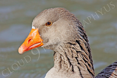 Bean goose 00006 by Peter J Mancus