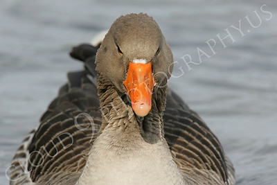 Bean goose 00002 by Peter J Mancus