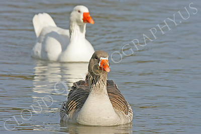 Bean goose 00004 by Peter J Mancus