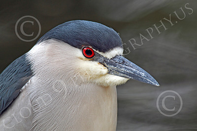Black-Crowned Night Heron 00001 Close up of a black-crowned night heron, by Peter J Mancus