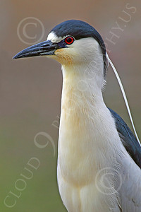 Black-Crowned Night Heron 00005 An alert black-crowned night heron, by Peter J Mancus