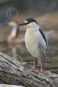 Black-Crowned Night Heron 00003 A black-crowned night heron standing on a log, by Peter J Mancus