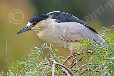 Black-Crowned Night Heron 00002 A black-crowned night heron standing in a bush, by Peter J Mancus