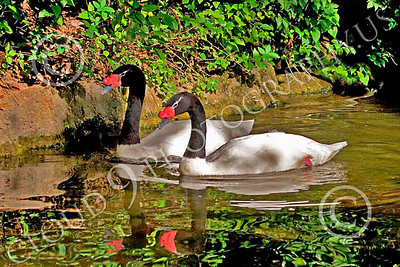 Black-Necked Swan 00010 Two adult black-necked swans swim together, by Peter J Mancus