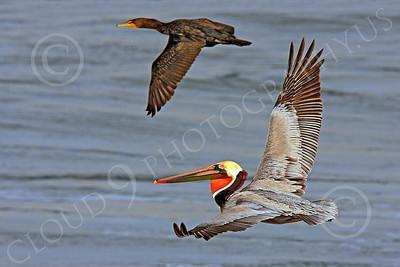 California Brown Pelican 00006 A flying California brown pelican with a wingman, by Peter J Mancus