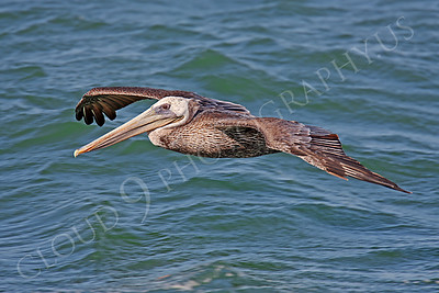 Brown Pelican 00001 Brown pelican soars low over San Francisco Bay by Peter J Mancus