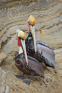 California Brown Pelican 00013 Two mature California brown pelicans, by Peter J Mancus