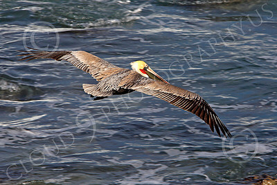 California Brown Pelican 00017 A California brown pelican flying over the Pacific Ocean, by Peter J Mancus