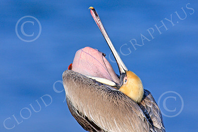 California Brown Pelican 00022 A California brown pelican opens its mouth wide, by Peter J Mancus