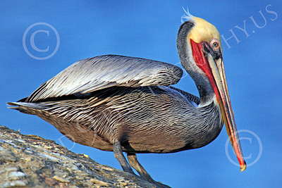 California Brown Pelican 00014 A California brown pelican contemplating going airborne, by Peter J Mancus