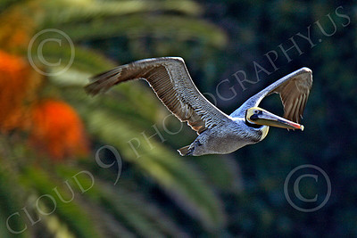 California Brown Pelican 00010 A California brown pelican flys past a palm tree, by Peter J Mancus